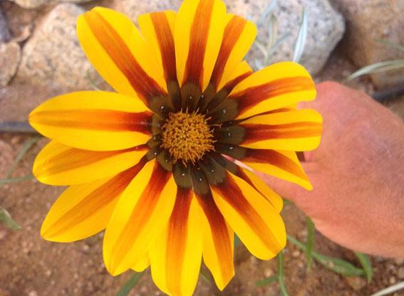 A12flower1